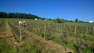 Dans les vignes du Château Haut Roc